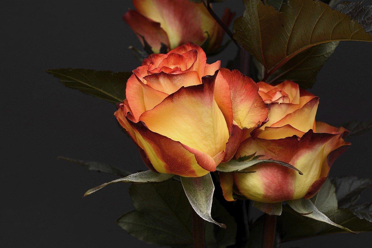 Rose Orange Rot edel Edelmütig